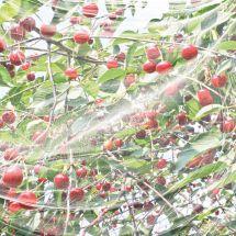 Kirschessig-Fliegennetz 500x400 cm
